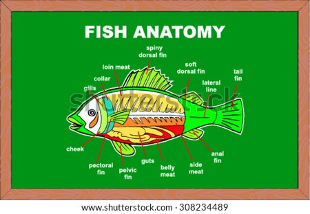 Anatomy of fishes