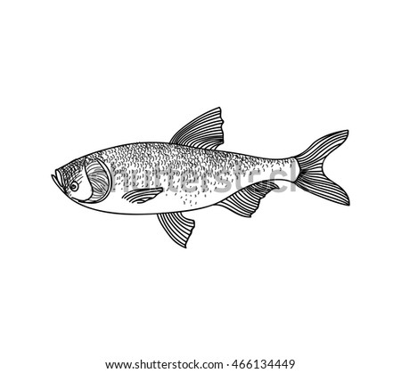 Fish sketch isolated over white background. Seafood icon. Hand drawn engraving illustration of gilt head and sea bass.