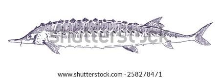 Fish sturgeon vector drawing - stock vector