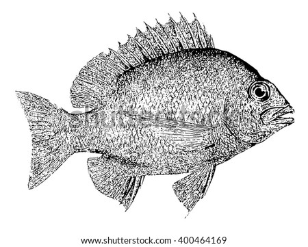 Fish vector hand drawn