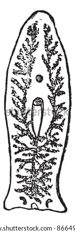 Flatworm or Platyhelminthes or Plathelminthes, vintage engraved illustration. Flatworn on white. Trousset encyclopedia (1886 - 1891). - stock vector