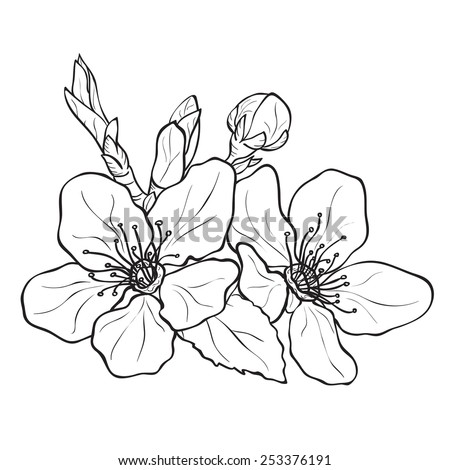 Flower - cherry blossoms drawing. Ink style vector - stock vector