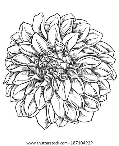 flower hand drawn aster stock vector   shutterstock, Beautiful flower