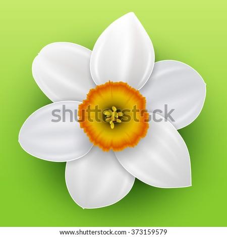 Flower narcissus, spring white flower, vector illustration. - stock vector