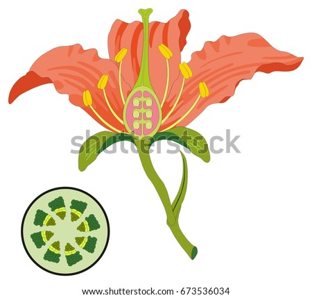 Flower Parts Diagram Stem Cross Section Stock Vector Royalty Free