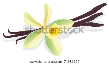 Flower vanilla with dried pods. Vector illustration.