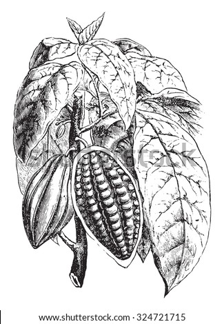 Flowering shoot and fruiting of cocoa, vintage engraved illustration. Industrial encyclopedia E.-O. Lami - 1875. - stock vector