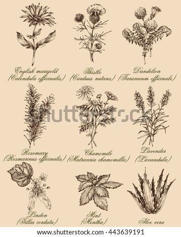 Flowers and herbs set. Medicinal plants and spices hand drawn, vintage engraving style. Botanical set for healthy living - stock vector