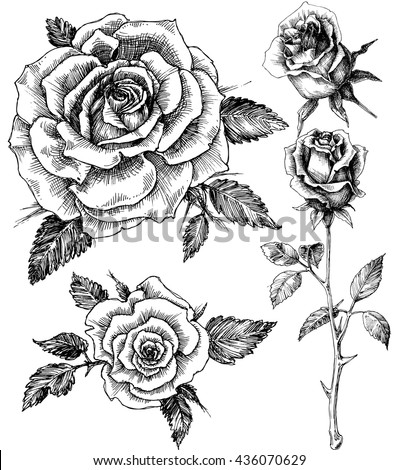 Flowers set. Hand drawn rose vector, etch style - stock vector