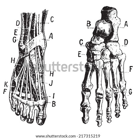 Foot, Fig 1. Muscles, Fig 2. Skeleton, vintage engraved illustration. Dictionary of words and things - Larive and Fleury - 1895. - stock vector