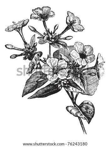 Four o' Clock Flower or Marvel of Peru or Mirabilis jalapa, vintage engraving. Old engraved illustration of a Four o' Clock Flower plant. - stock vector