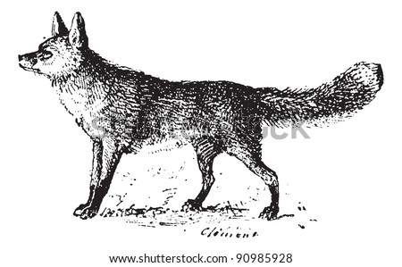 Fox, vintage engraved illustration. Dictionary of words and things - Larive and Fleury - 1895.