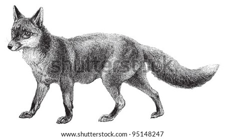 Fox (Vulpes vulpes) / vintage illustration from Meyers Konversations-Lexikon 1897 - stock vector