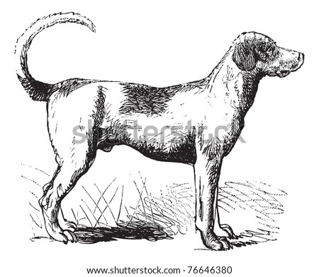 Foxhound or Canis lupus familiaris, vintage engraving. Old engraved illustration of a Foxhound. Trousset encyclopedia. - stock vector