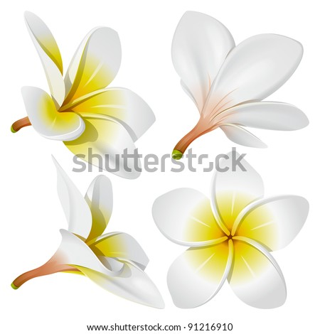 Frangipani (Plumeria). Hawaii, Bali (Indonesia), Shri-Lanka Tropical Necklace Flowers. Vector Illustration - stock vector