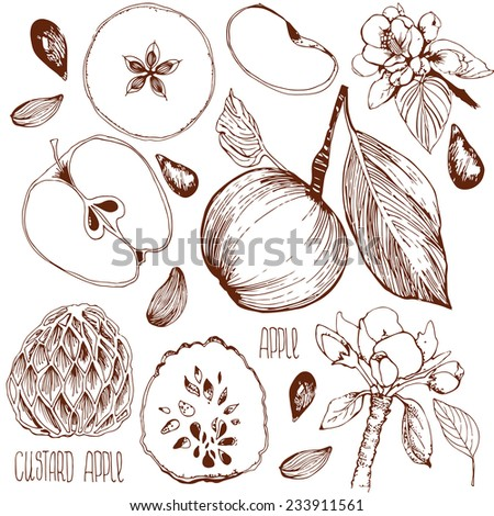 Freehand drawing. Vector illustration. Sketch of an apple, leaf, apple seeds, flowers, apple and a cut apple. drawn by hand. Custard apple. Incision cream apple. - stock vector