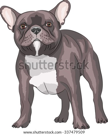 French Bulldog dog breed, brown, isolated on white background.