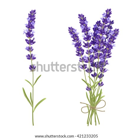 Fresh cut fragrant lavender plant flowers bunch and single 2 realistic icons set isolated vector illustration  - stock vector