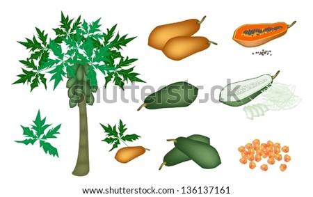 Fresh Fruits, An Illustration Collection of A Fresh Ripe and Unripe Papayas, Slices Papaya, Papaya Chunks and Papaya Tree