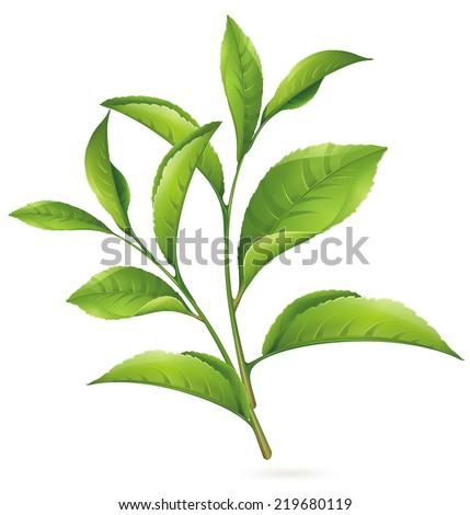 Fresh green tea leaf on white background - stock vector