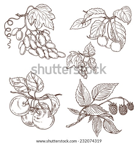 Fruits of grapes, ripe cherry, apple, currant and raspberry on branches. Vector sketch.
