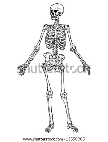 full skeleton vector - stock vector