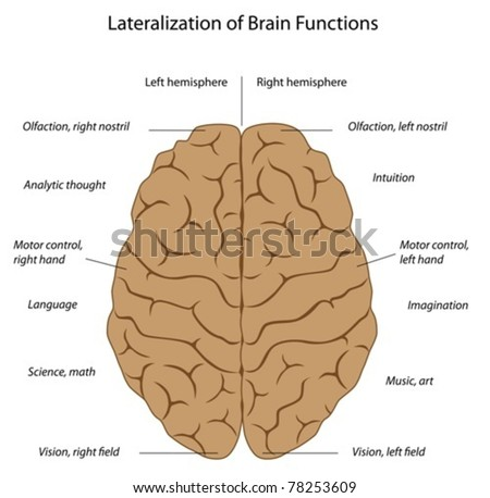 functions left right hemispheres brain stock vector