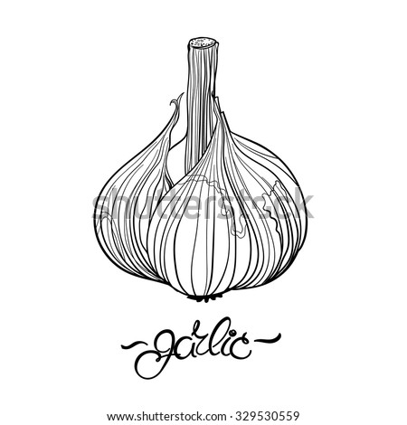 Garlic. Hand drawn garlic bulb and lettering. Outline drawing - stock vector