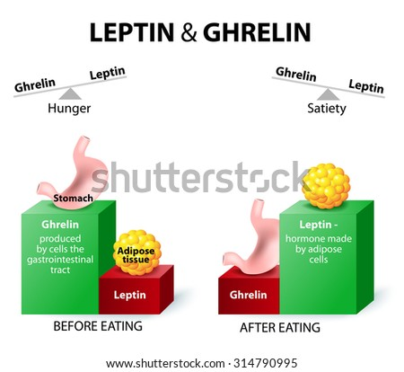 Ghrelin and leptin hormones regulating appetite. Leptin the satiety hormone. Ghrelin the hunger hormone. When ghrelin levels are high feel hungry. After eat, ghrelin levels fall and we feel satisfied. - stock vector