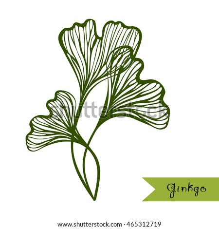 Ginkgo Biloba Leaves With Title Sketch For Traditional Medicine Gardening Or Cooking Design