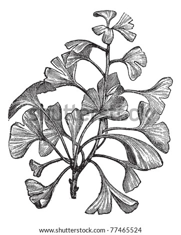 Ginkgo biloba or Salisburia adiantifolia or Pterophyllus salisburiensis or Ginkgo or Maidenhair Tree, vintage engraving. Old engraved illustration of Ginkgo, isolated on a white background. Trousset - stock vector