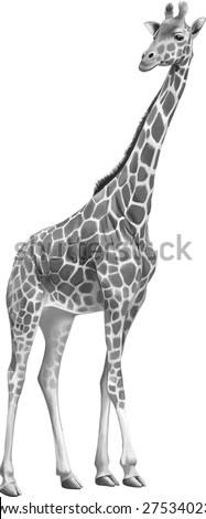 Giraffe standing looking front isolated on white background.
