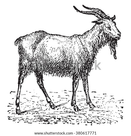 Goat, vintage engraved illustration. Dictionary of words and things - Larive and Fleury - 1895. - stock vector