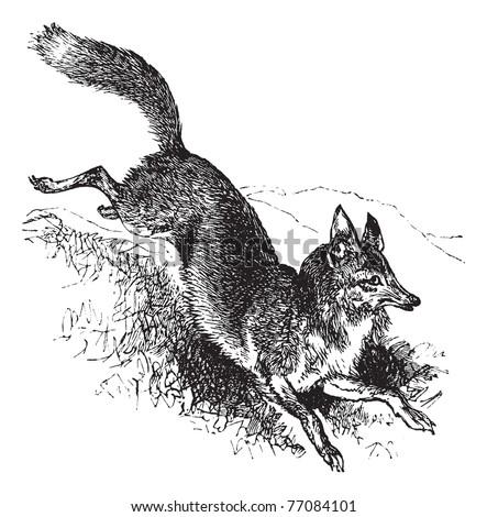 Golden jackal or Canis aureus vintage engraving. Old engraved illustration of alert canis aureus. Trousset encyclopedia. - stock vector