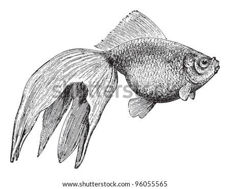 Goldfish (Veiltail) / vintage illustration from Meyers Konversations-Lexikon 1897 - stock vector