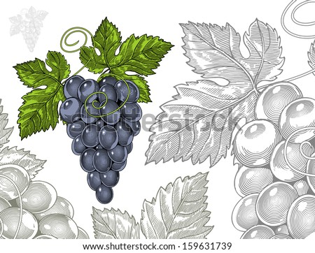 Grapes in vintage engraved style   Vector illustration, isolated, grouped, transparent background. It easy to change the size and colors. All elements are separated - stock vector