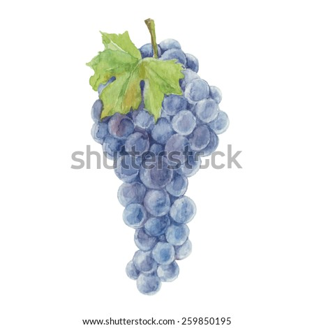 Grapes isolated on a white background.Vector, watercolor hand drawn  illustration. - stock vector