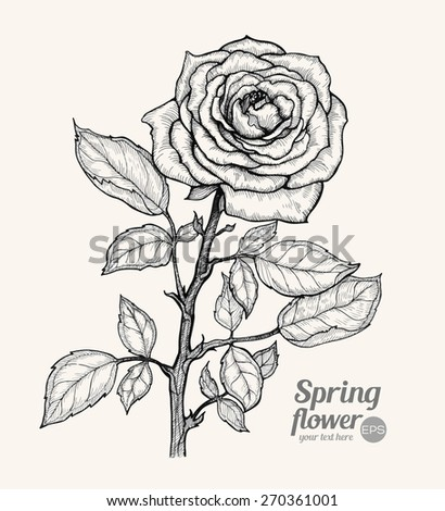 Graphic vector illustration of rose on a beige background. Hand drawn artwork. Love concept for wedding invitations, cards, tickets, congratulations, branding. Gift for young girl and women - stock vector