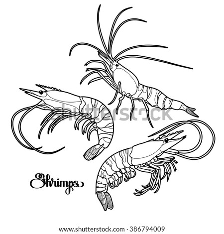 Graphic vector shrimps collection drawn in line art style. Sea and ocean creatures isolated on white background. Seafood element. Coloring book page design for adults and kids - stock vector