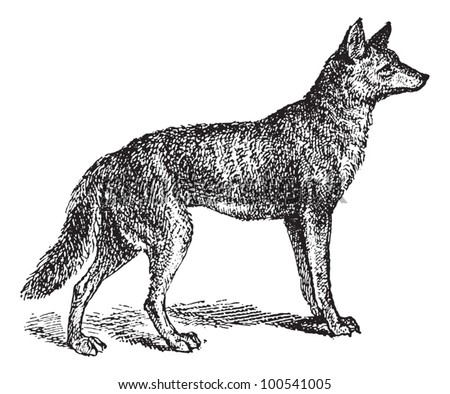 Gray Wolf or Canis lupus, vintage engraved illustration. Dictionary of Words and Things - Larive and Fleury - 1895