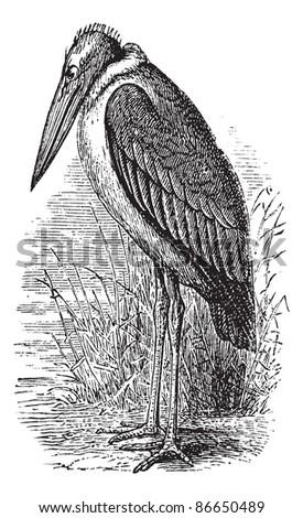 Greater Adjutant or Leptoptilos dubius or Leptoptilus argala or Ardea dubia or Leptoptilus giganteus or Argala migratori, vintage engraving. Trousset encyclopedia (1886 - 1891). - stock vector
