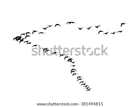 Greater white-fronted goose wedge in flight. Vector silhouette a flock of birds - stock vector