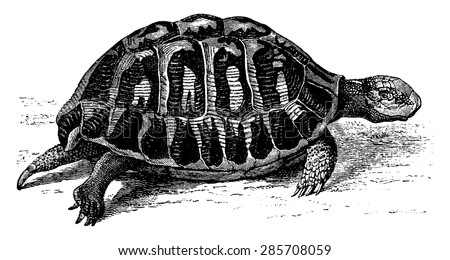 Greek tortoise, vintage engraved illustration. From La Vie dans la nature, 1890. - stock vector