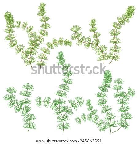 Green hornwort algae set isolated on white. - stock vector