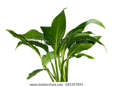 green leaf on white background, vector - stock vector
