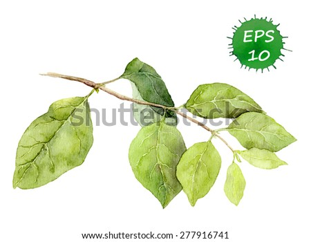 Green leaves on branch. Watercolor vector. Botanical illustration - stock vector