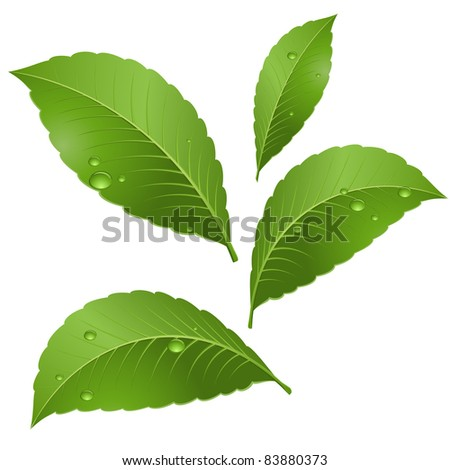 Green leaves with drops of morning dew. Illustration on white background - stock vector
