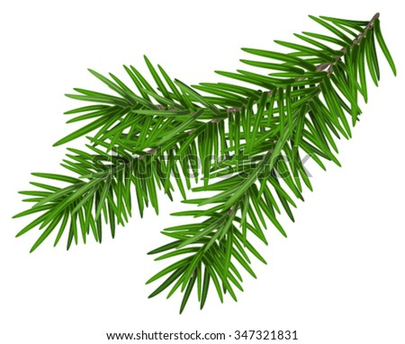 Green lush spruce branch. Fir branch. Isolated on white vector illustration - stock vector