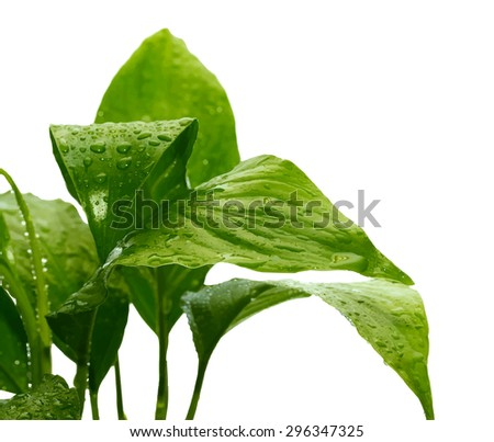 green plant with drops of water, vector - stock vector