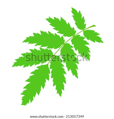 Green rowan leaf on a white background.